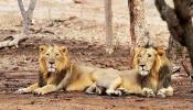 Covid-19 In Asiatic Lion: ಜಾನುವಾರುಗಳಿಗೂ ವ್ಯಾಪಿಸಿದೆಯೇ ಕೊರೊನಾ ಸೋಂಕು? ಈ ಮೃಗಾಲಯದ 8 ಸಿಂಹಗಳಿಗೆ ಕೊರೊನಾ ಸೋಂಕು