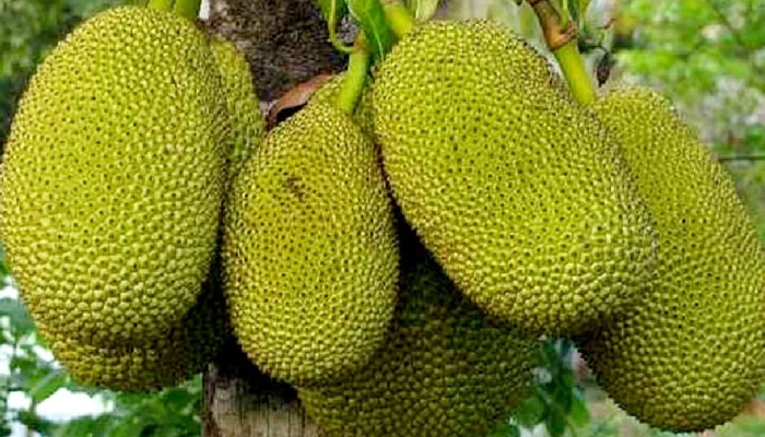 Fruits for Good Health : ಖಂಡಿತ ಓದಿ, ನಿತ್ಯ ಸಂಜೀವಿನಿ ಈ ಹಣ್ಣು..! ಚೆನ್ನಾಗಿ ತಿನ್ನಿ